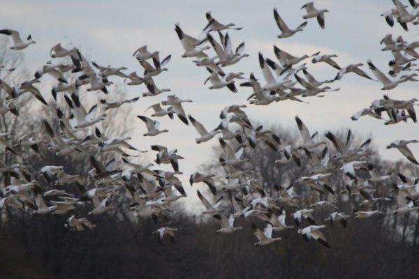 ハクガンの群れにアオハクガン幼鳥